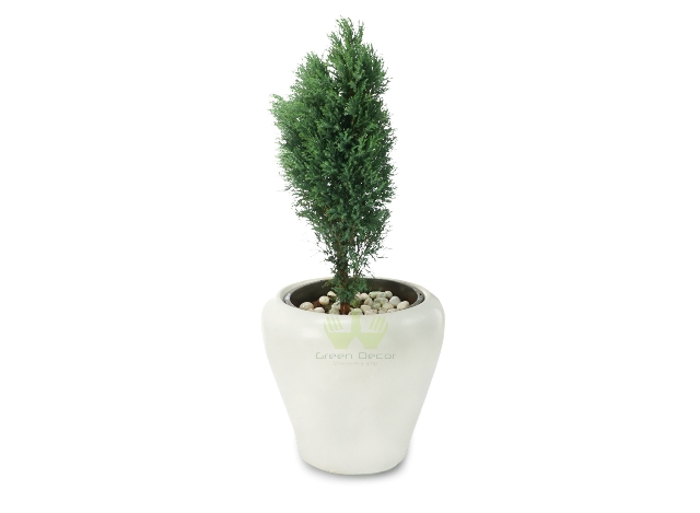 Buy Juniper Green Plant Front View, White Pots and Seeds in Delhi NCR by the best online nursery shop Greendecor.