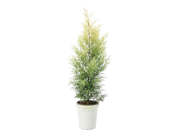 Buy Juniper Plant Front View , White Pots and Seeds in Delhi NCR by the best online nursery shop Greendecor.