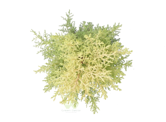 Buy Juniper Plant Top View , White Pots and Seeds in Delhi NCR by the best online nursery shop Greendecor.