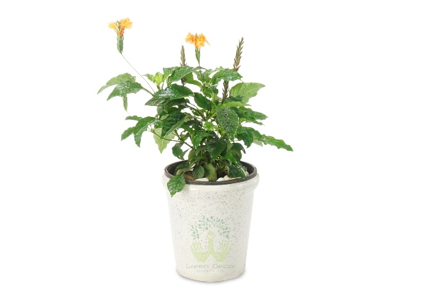 Buy Kanakambaram Plant Front View, White Pots and Seeds in Delhi NCR by the best online nursery shop Greendecor.