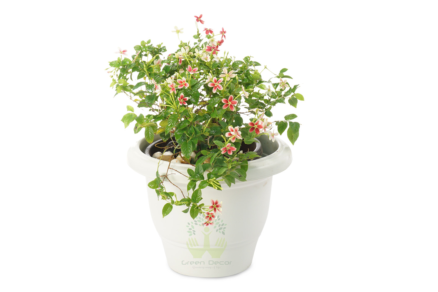 Buy Madhumalti Plants Front View , White Pots and seeds in Delhi NCR by the best online nursery shop Greendecor.