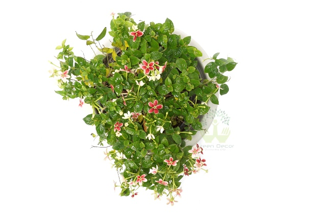 Buy Madhumalti Plants Top VIew , White Pots and seeds in Delhi NCR by the best online nursery shop Greendecor.