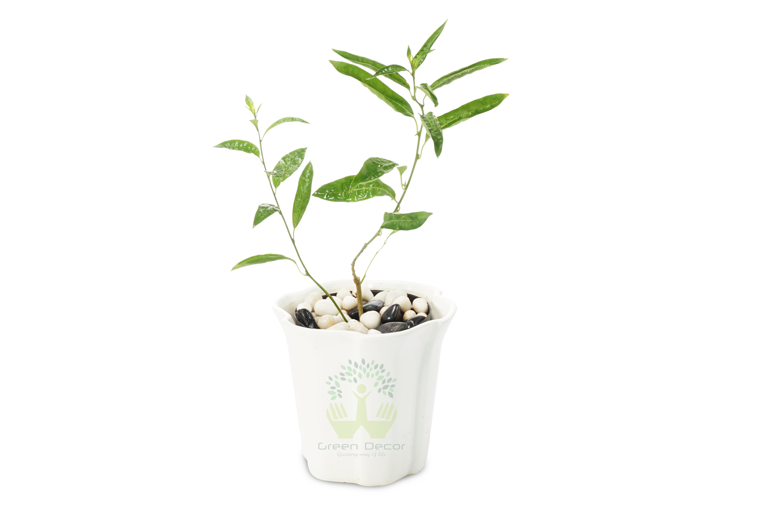 Buy Raat ki Rani Plants Front View , White Pots and seeds in Delhi NCR by the best online nursery shop Greendecor.