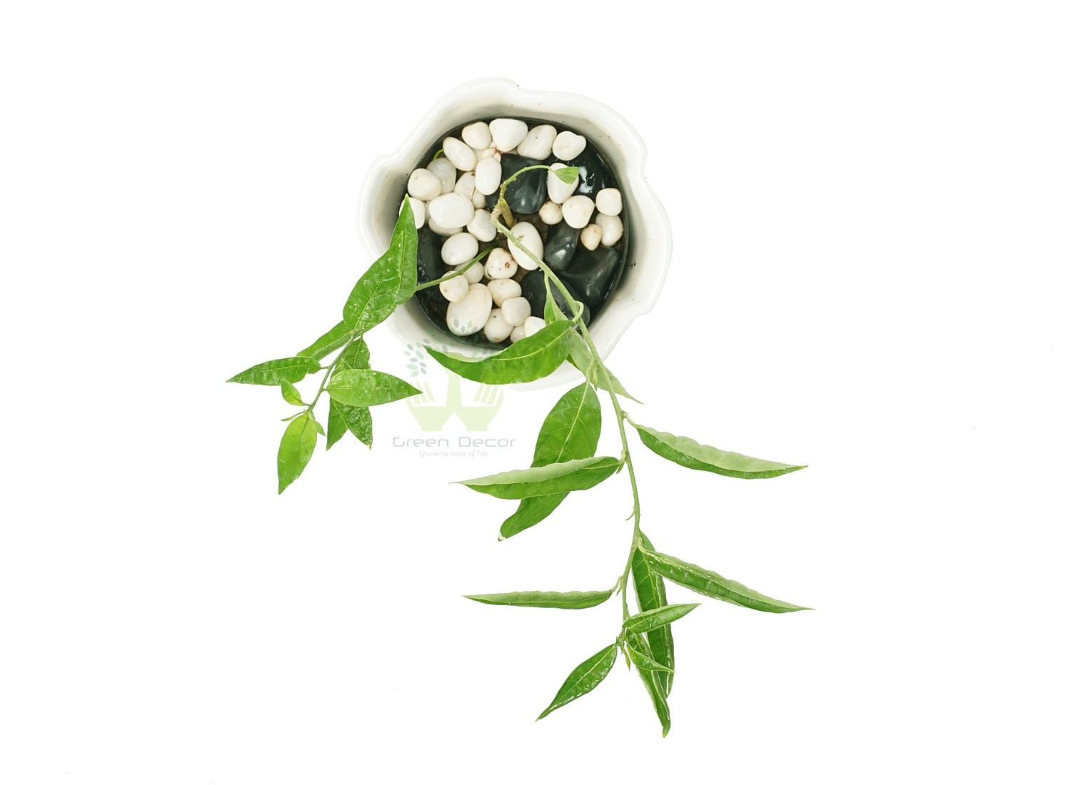 Buy Raat ki Rani Plants Top View , White Pots and seeds in Delhi NCR by the best online nursery shop Greendecor.