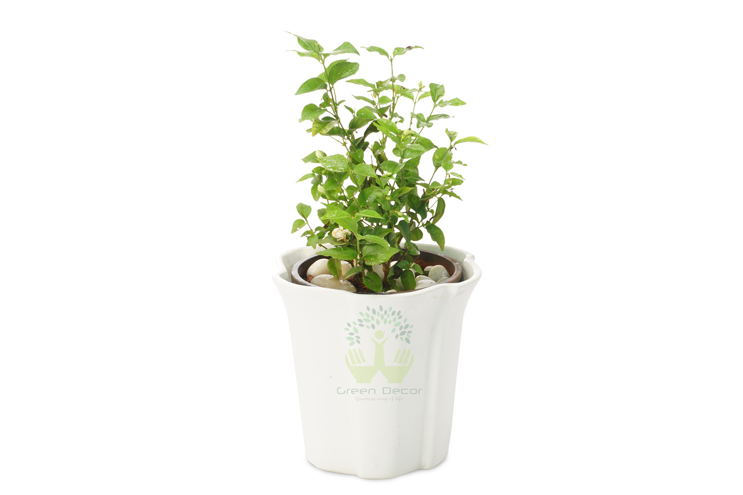 Buy Mogra Plants Front View , White Pots and seeds in Delhi NCR by the best online nursery shop Greendecor.