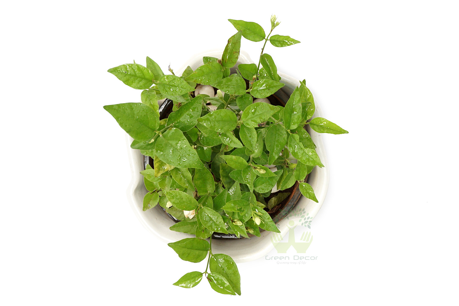 Buy Mogra Plants Top View , White Pots and seeds in Delhi NCR by the best online nursery shop Greendecor.