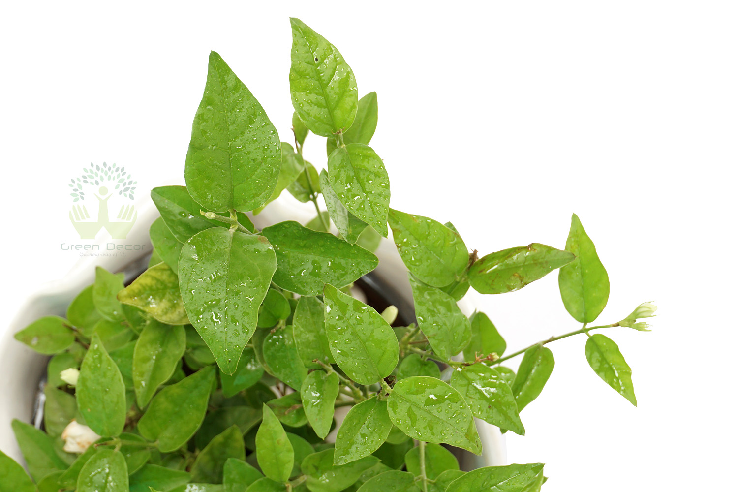 Buy Mogra Plants Leaves View , White Pots and seeds in Delhi NCR by the best online nursery shop Greendecor.