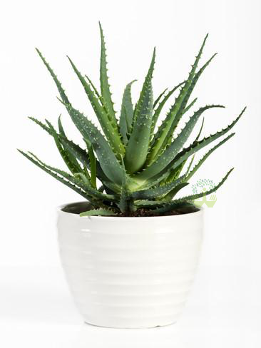 Aloe Vera Plants Front View , White Pots and seeds in Delhi NCR by the best online nursery shop Greendecor.