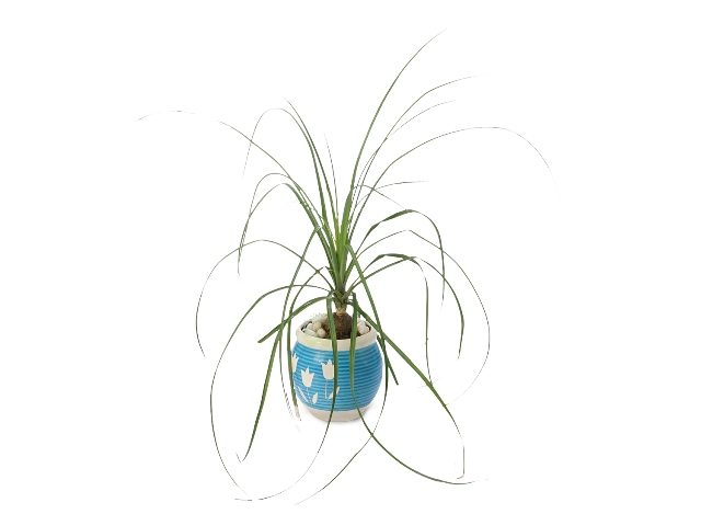 Buy Ponytail Plant Front View, White Pots and Seeds in Delhi NCR by the best online nursery shop Greendecor.
