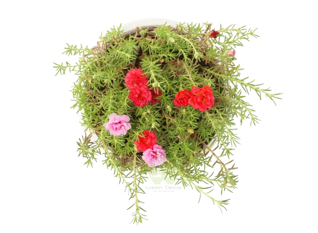 Buy Moss Rose Plant Top View, White Pots and Seeds in Delhi NCR by the best online nursery shop Greendecor.