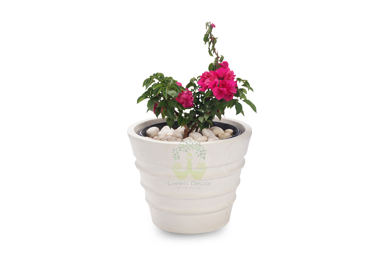 Buy Bougainvillea Plants , White Pots and seeds in Delhi NCR by the best online nursery shop Greendecor.
