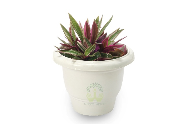 Buy Rhoeo Discolour Plant Front View, White Pots and Seeds in Delhi NCR by the best online nursery shop Greendecor.
