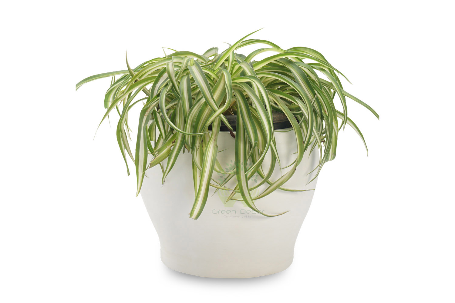 Buy Spider Plants , White Pots and seeds in Delhi NCR by the best online nursery shop Greendecor.