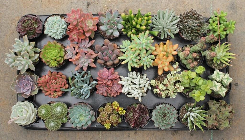 Buy Succulent Plants Online, Order Succulent Plants at Home