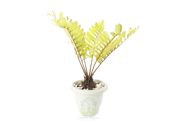 Buy Zamia Palm Plant Front View, White Pots and Seeds in Delhi NCR by the best online nursery shop Greendecor.