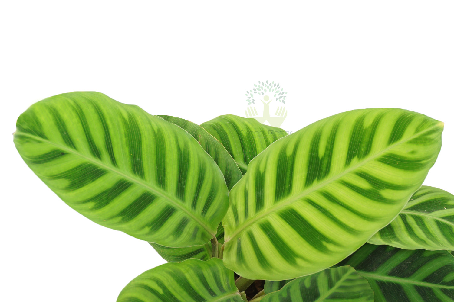 Buy Zebra Plant Leaves View, White Pots and Seeds in Delhi NCR by the best online nursery shop Greendecor.